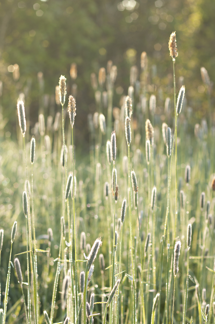 Grasses in the Morning Light | City of Blackbirds Photography