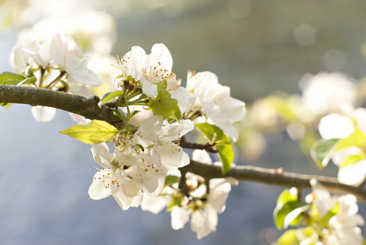 Blossom in the Morning Light | City of Blackbirds Photography