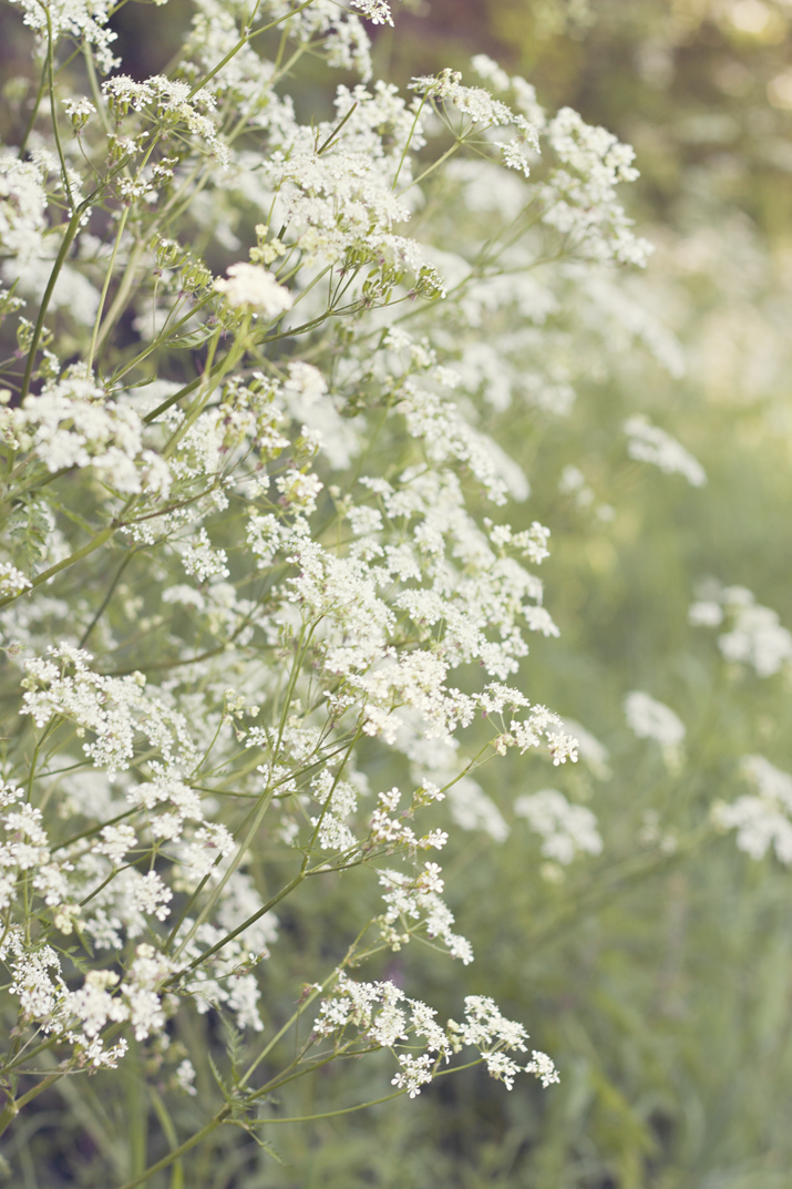 Queen Anne's Lace | City of Blackbirds Photography