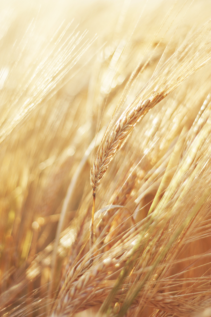 Harvest Light | Golden Wheat Fields | City of Blackbirds Photography