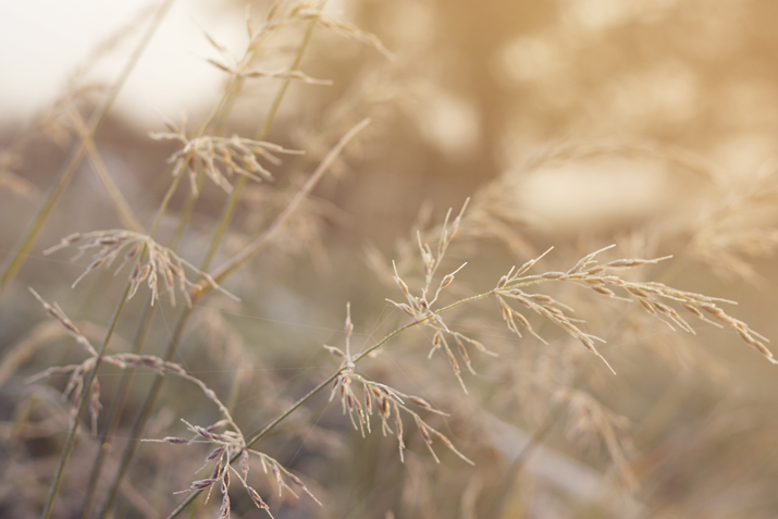 Golden Grasses | City of Blackbirds Photography