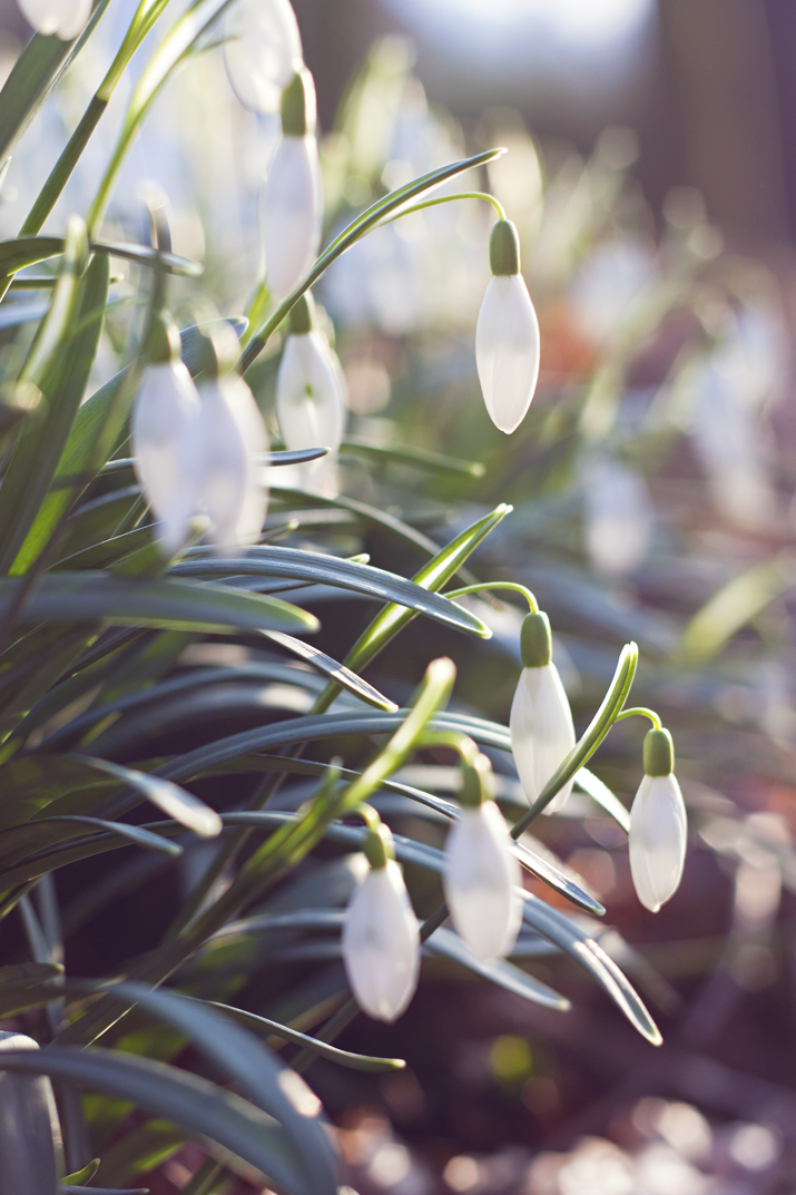 Snowdrops | City of Blackbirds Photography