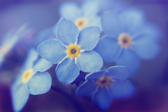 Forget Me Nots | City of Blackbirds Photography