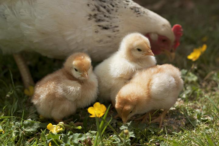 Hen & Chicks | City of Blackbirds Photography