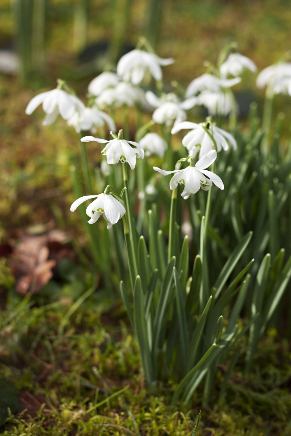 Powerscourt Estate Snowdrops | City of Blackbirds Photography