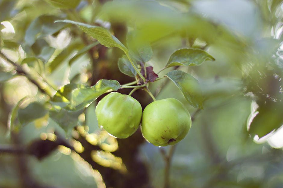 Apple Tree Bokeh