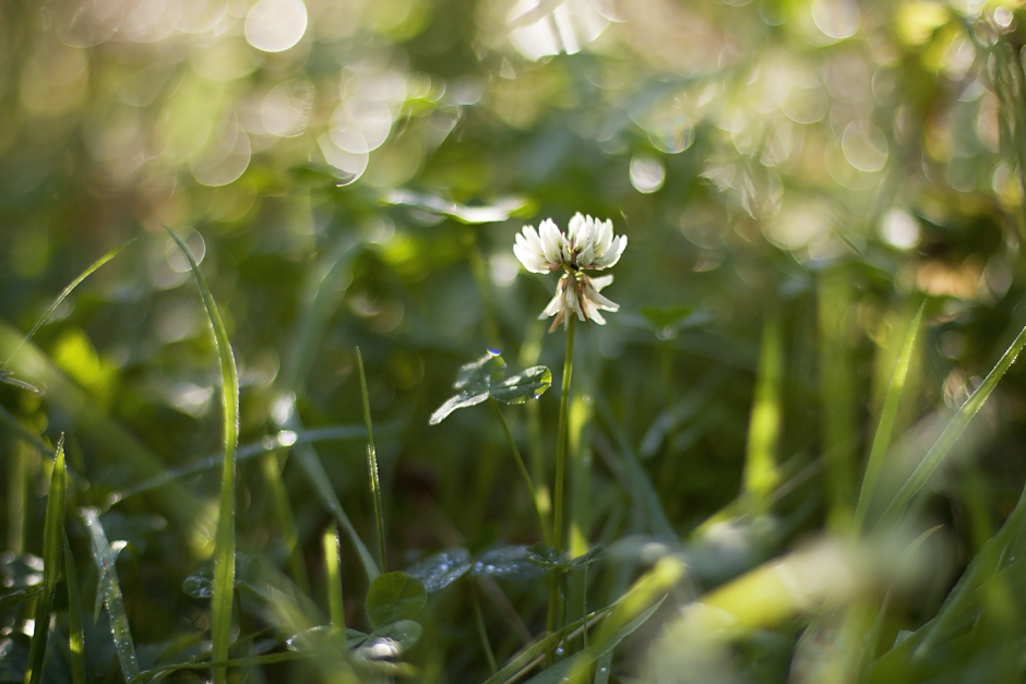 clover-bokeh-morning-dew