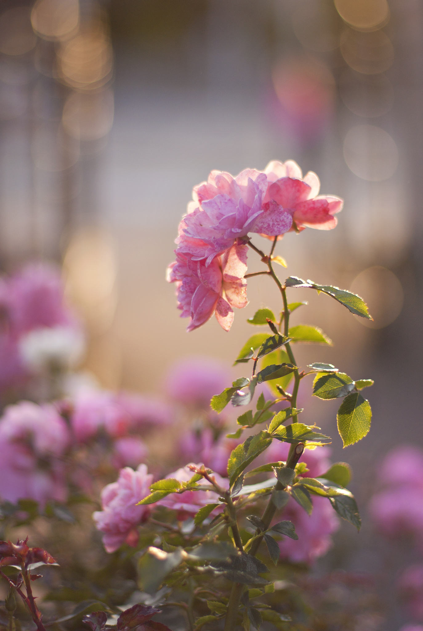 fading-pink-rose-sunset